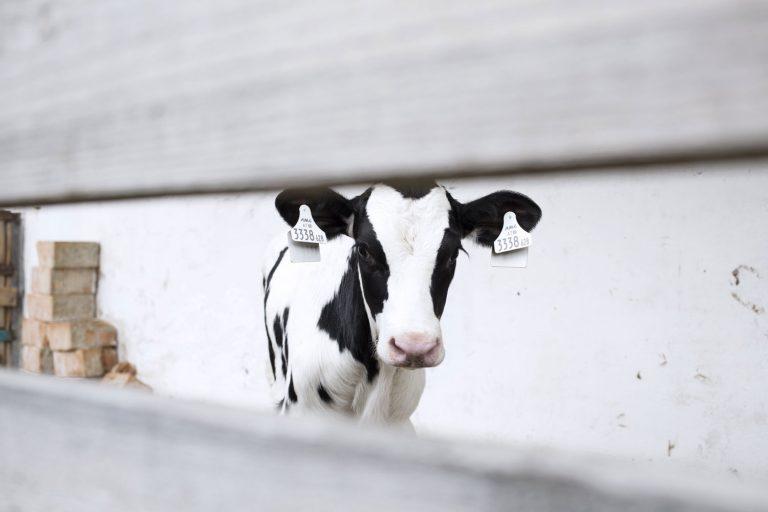 Schwarz-weiße Kuh